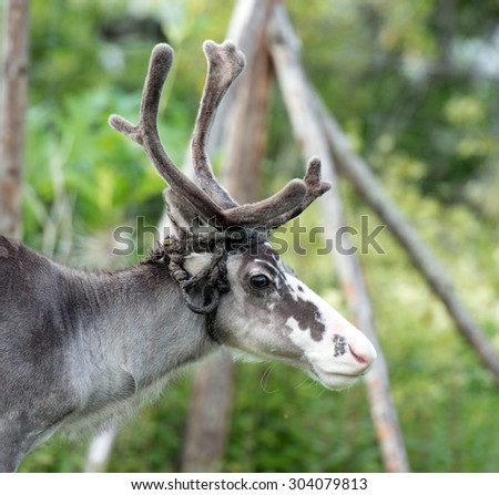 portrait of a reindeer