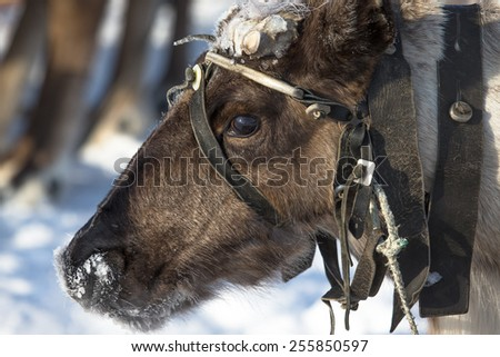 Portrait of a reindeer. Sharpness on eyes