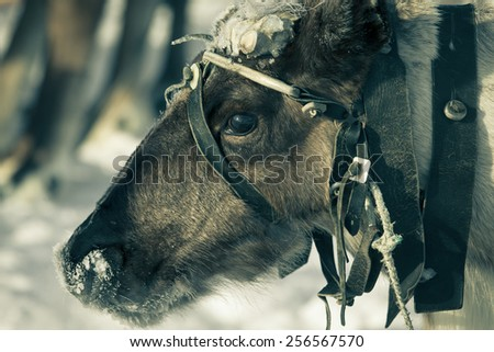 Portrait of a reindeer. Sharpness on eyes. - stock photo
