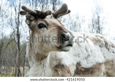 Portrait of a reindeer, Tromso - stock photo