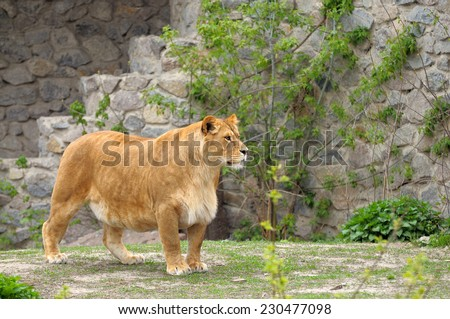 Portrait of a resting lioness (Panthera leo). - stock photo