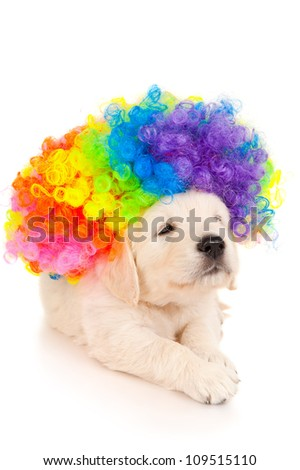 Portrait of a retriever puppy in colored wig - stock photo