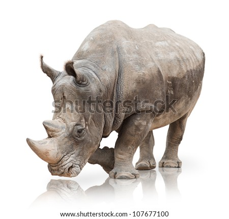 Portrait of a rhinoceros on white background - stock photo