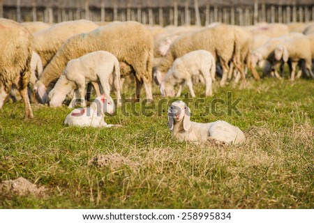 Portrait of a ring with the background of the flock of sheep - stock photo