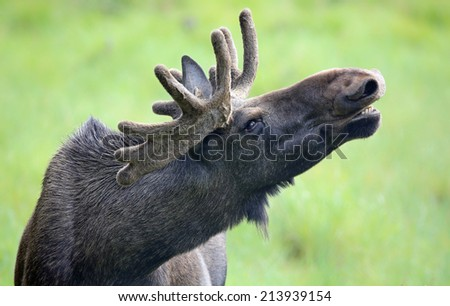 Portrait of a roaring Moose bull (Alces alces) - stock photo
