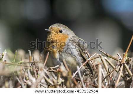 Portrait of a robin  - stock photo