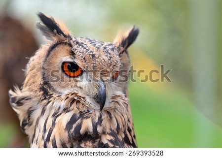 Portrait of a rock eagle-owl, Bubo bengalensis, looking behind - stock photo