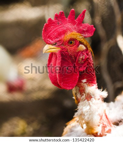 portrait of a rooster with a bare neck - stock photo