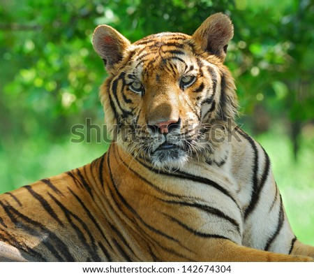 Portrait of a Royal Bengal tiger. - stock photo