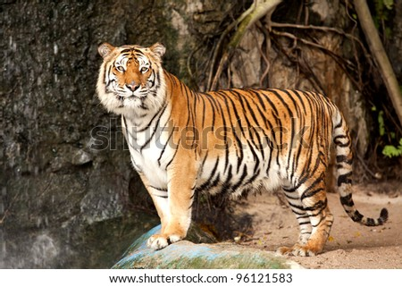 Portrait of a Royal Bengal tiger alert and staring at the camera - stock photo