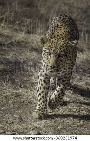 portrait of a running african leopard in the bush, South Africa - stock photo