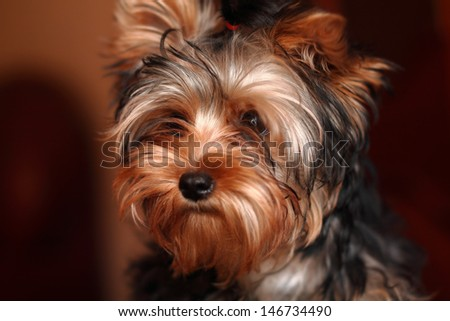 Portrait of a sad puppy Yorkshire Terrier
