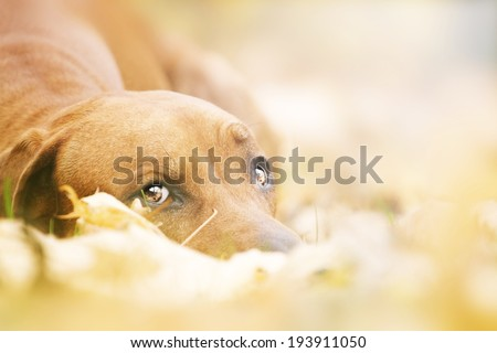 portrait of a sad rhodesian ridgeback dog in autumn nature - stock photo