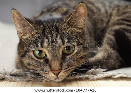 Portrait of a sad tabby cat. - stock photo