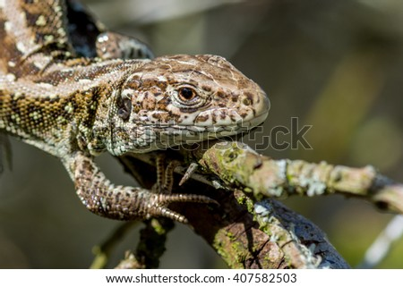 Portrait of a sand lizard (Lacerta agilis)