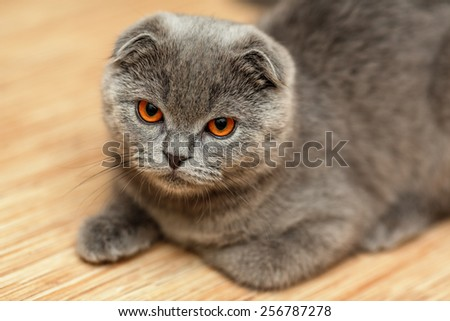 Portrait of a scottish fold breed blue cat - stock photo