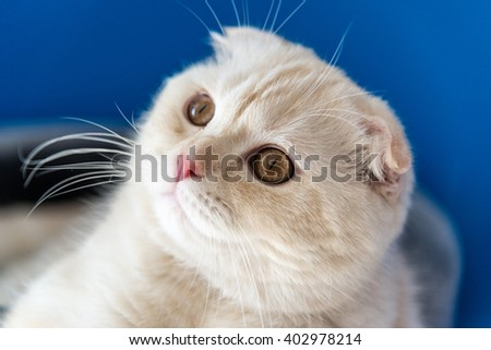 Portrait of a Scottish Fold cat looking up - stock photo