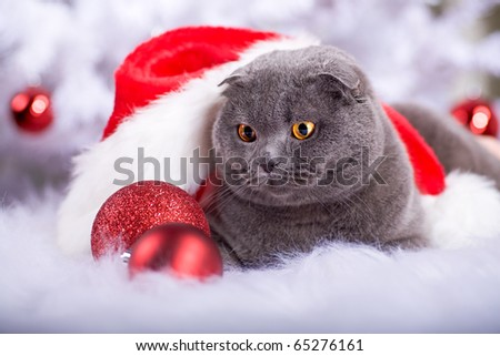 portrait of a Scottish shorthair cat at the Christmas tree