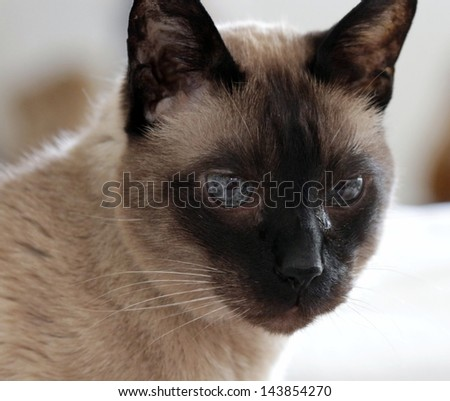 Portrait of a seal-point siamese cat with green eyes - stock photo