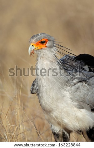 Portrait of a secretary bird (Sagittarius serpentarius), Kalahari, South Africa  - stock photo