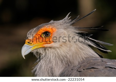 Portrait of a secretary bird (Sagittarius serpentarius), South Africa - stock photo