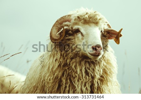portrait of a sheep in the mountains - stock photo