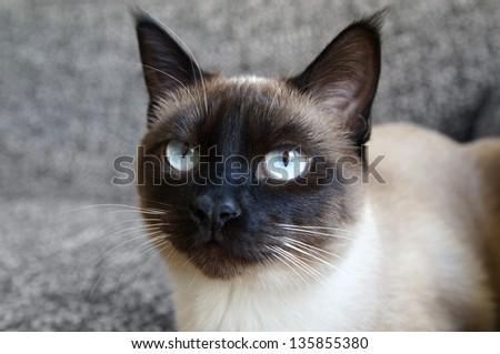 portrait of a siamese cat - stock photo