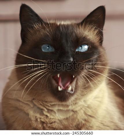 portrait of a Siamese cat big - stock photo
