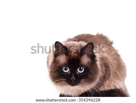 Portrait of a Siamese cat on a white background