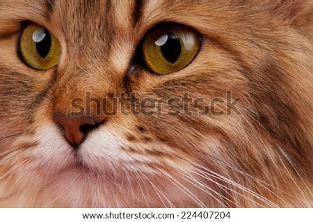 Portrait of a siberian beautiful adult cat close-up - stock photo