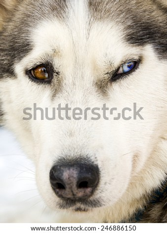 Portrait of a siberian husky dog  - stock photo