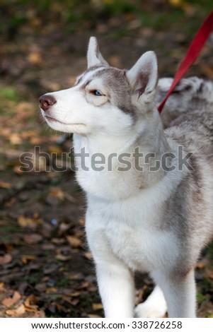 Portrait of a Siberian Husky dog outdoors - stock photo
