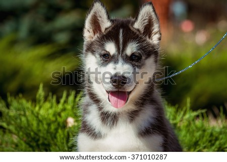 Portrait of a Siberian Husky puppy walking in the yard.