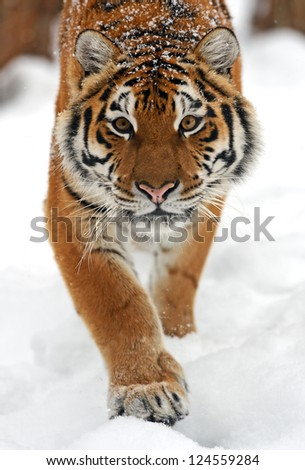 Portrait of a Siberian Tiger - stock photo