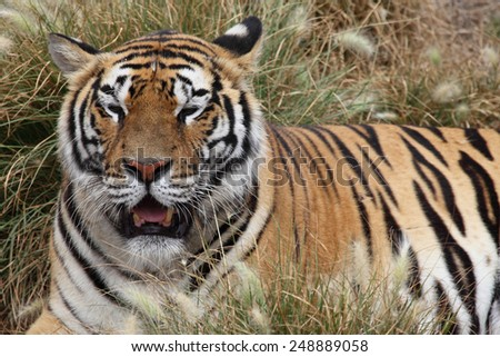 portrait of a Siberian Tiger laying in a field of tall grass