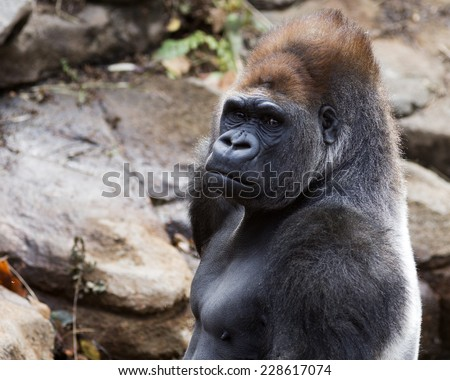 portrait of a silver back gorilla - stock photo