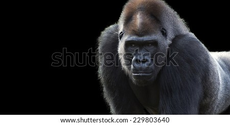 portrait of a silver back gorilla isolated on a black background with room for text