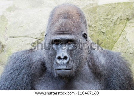 Portrait of a silver back gorilla looking curious