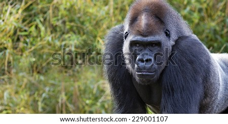 portrait of a silver back gorilla with room for text