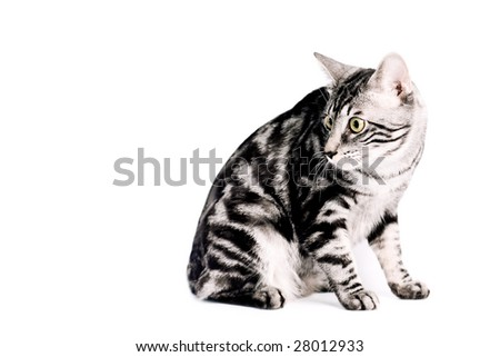 Portrait of a silver tabby blotched Kunashir cat with naturally bobbed tail.