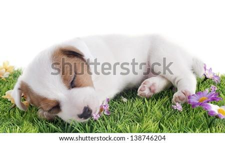 portrait of a sleeping puppy jack russel terrier in studio - stock photo