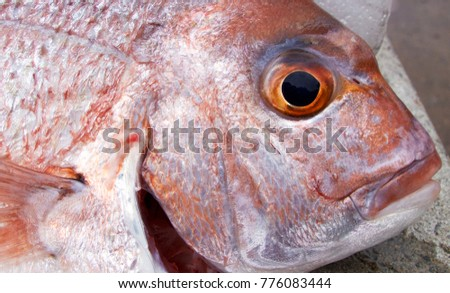 Portrait of a snapper fish.