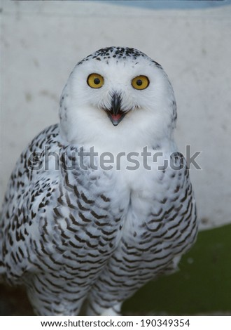 Portrait of a snowy owl - stock photo