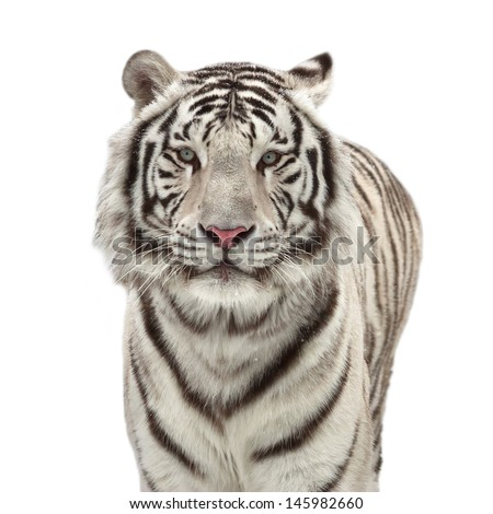 Portrait of a snowy white bengal tiger, isolated on white background. - stock photo