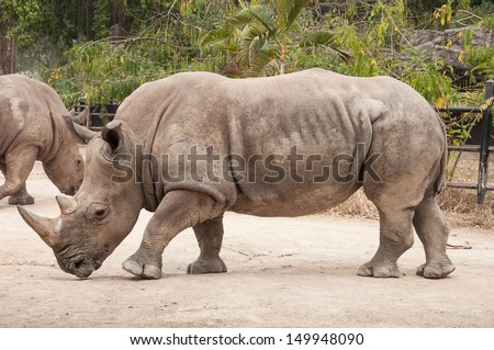 Portrait of a Southern white (square-lipped) Rhinoceros.