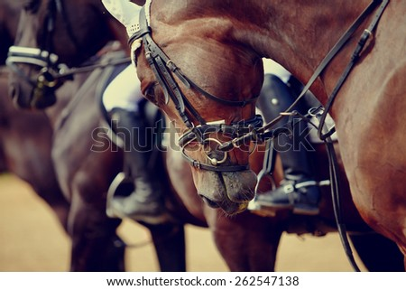 Portrait of a sports stallion. Riding on a horse. Thoroughbred horse. Beautiful horse. - stock photo