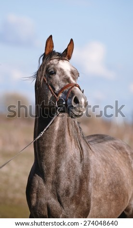 Portrait of a sports thoroughbred horse in a bridle. - stock photo