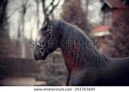 Portrait of a sports thoroughbred horse of black color. - stock photo