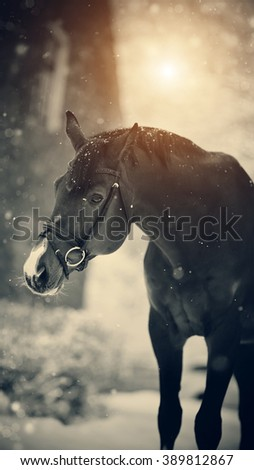 Portrait of a sports thoroughbred stallion in the winter.