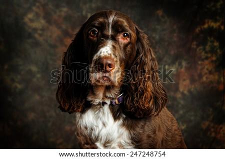 portrait of a springer spaniel - stock photo